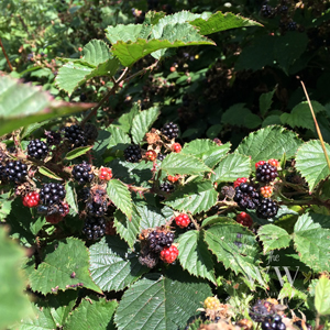 The Woodland Wife 10 signs of Autumn - Blackberries