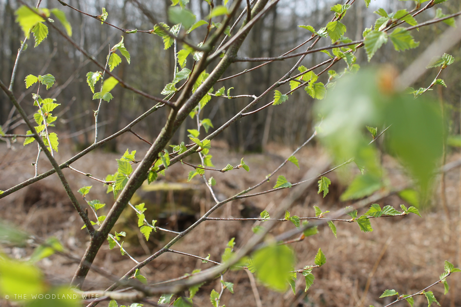 The Woodland Wife - Signs of Spring in the woods